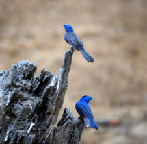 Black-naped-blue-Monarch-Pair