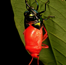 Jewel-Bug-Molting---Yuwaraj-Gurjar
