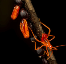 Yuwaraj-Gurjar_Assassin-Bug-emerging-from-eggs_Yeoor-SGNP