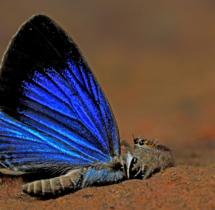 Yuwaraj-Gurjar_Spider-eating-Dark-Cerulean-Butterfly-Yeoor-SGNP