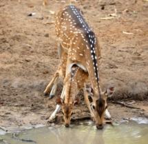 Yuwaraj-Gurjar_Spotted-Deet-with-baby_Ambepat