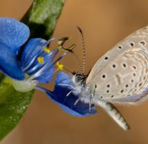 034-Tiny-Grass-Blue---Yuwaraj-Gurjar