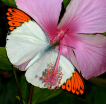038-Great-Orange-Tip-01---Yuwaraj-Gurjar