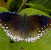 088-Great-eggfly-female-01---Yuwaraj-Gurjar