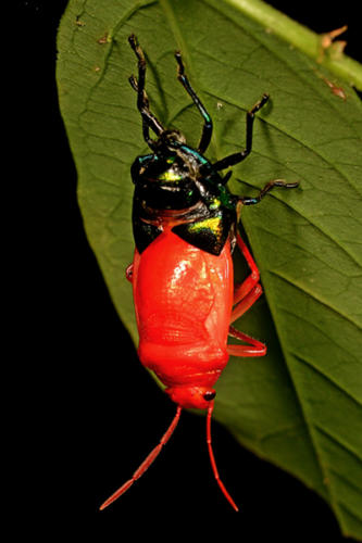 Jewel-Bug-Molting