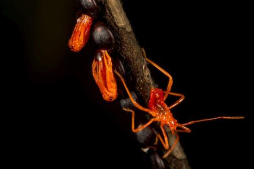 Assassin-Bug-emerging-from-eggs_Yeoor-