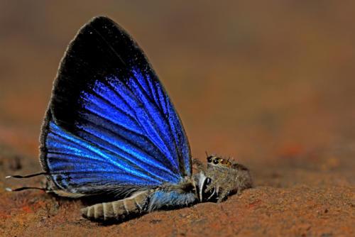 Spider-eating-Dark-Cerulean-Butterfly-Yeoor-