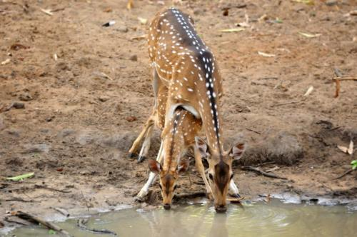 Spotted-Deer-with-baby_Ambepat